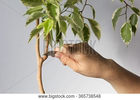 Woman Hand Holding Blade To Cut Branch From Ficus Stem Or Remove Part Bark To Produce Offshoot On Tr
