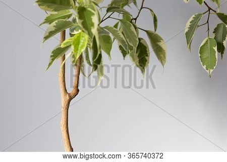 Ficus Stem With Branch Which Need To Cut Or To Produce Offshoot On Trunk To Make Root On The White B