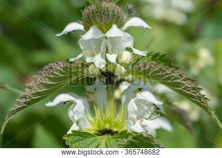 Close Up Of Stinging Nettle (urtica Dioica) Blossom