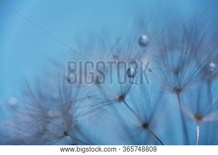 Dew Drops On Dandelion Seeds Macro. Sparking Droplets Water. Blue Background