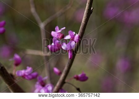 Flowers Of A Chinese Redbud, Cercis Chinensis.