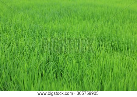 Young Paddy Seed Growing In Field. Green Grass In The Wind. Fresh Green Grass Background. Green Colo