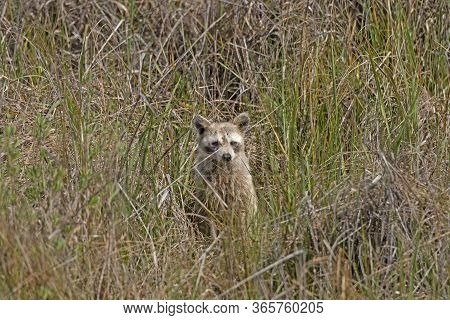 Raccoon Peeking Out From The Coastal Grasses In The Aransas National Wildlife Refuge In Texas