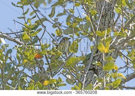 White Eyed Vireo In Coastal Tree In The Aransas National Wildlife Refuge In Texas