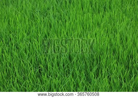 Green Background. Young Paddy Growing In Field. Green Grass In The Wind. Fresh Green Grass Backgroun
