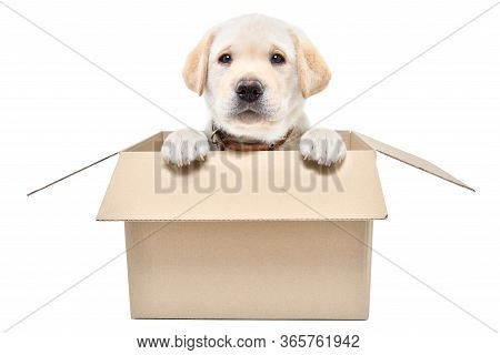 Charming Labrador Puppy Sitting In A Cardboard Box Isolated On White Background
