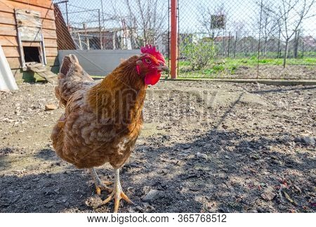 Beautiful Colorful Hens (gallus Gallus Domesticus) Standing In A Farmyard In The Countryside