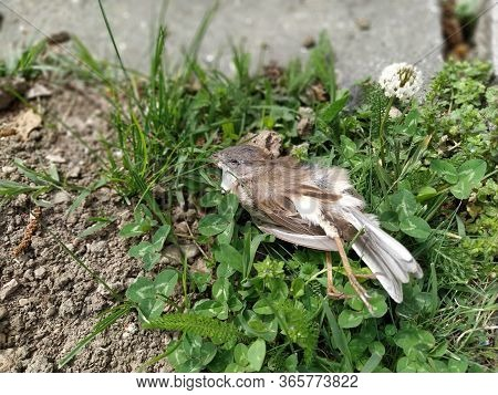 Dead House Sparrow. Dead Young Bird. Crashed Chick. Stretch Your Legs. Dead Animal On A Green City L