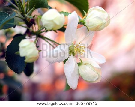 White Flowers Of An Apple Tree Close-up At Sunset. Petals, Pistils, Stamens, Leaves And Branches. Bl