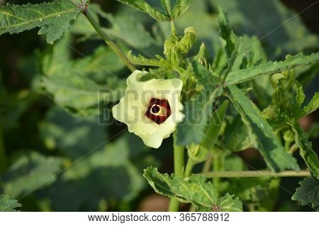 Okra Or Abelmoschus Esculentus Flower. Young Okra Plant (lady Finger) At Farm Field