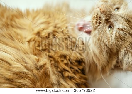 Beautiful Portrait Of Yawning Red Cat With Yellow Eyes And Tongue. Closeup Animal. Banner Of Domesti