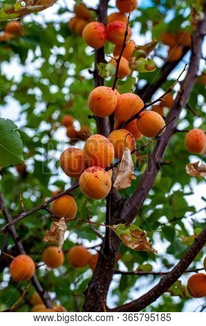 Fruit Tree Branches With Ripe Apricots Among Fresh Green Leaves. Bunches Of Organic Fruits Of Aprico