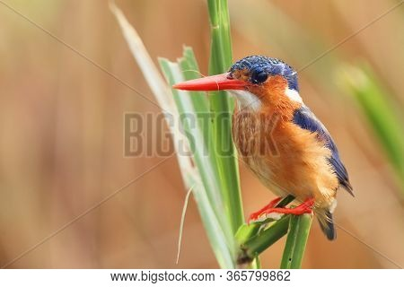 The Malachite Kingfisher (corythornis Cristatus) Sitting On The Reed. Kingfisher With Orange  Backgr