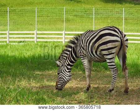 Zebra Is Grazing  With Green Field Background. Zebras Close Up.