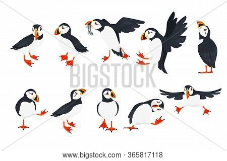 Set Of Atlantic Puffin Bird In Different Poses Cartoon Animal Design Flat Vector Illustration Isolat