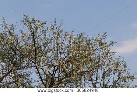 Babul Tree Branches Or Vachellia Nilotica With Leaves And Pods, Also Known As Gum Arabic Tree, Thorn