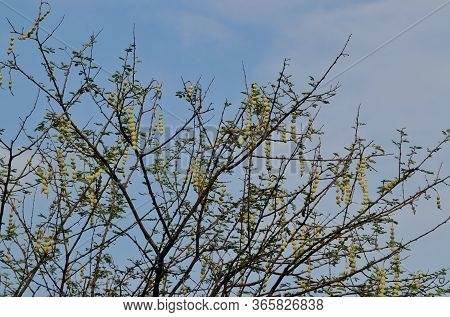 Gum Arabic Tree Or Babul Branches With Leaves And Pods, Also Known As Vachellia Nilotica, Thorn Mimo