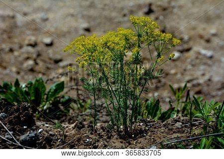 Cypress Spurge, Euphorbia Cyparissias. Cypress Spurge Blooming Euphorbia Cyparissias.