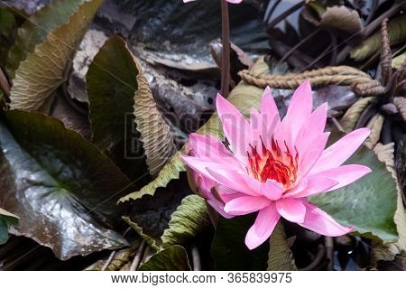 Wild Pink Water Lily Or Lotus Flower (nelumbo Nucifera) In The Water. Nymphaea In The Pond. Indonesi