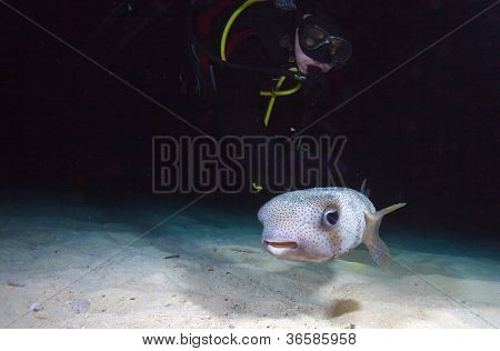 Pufferfish With Diver During Night Dive, Cuba