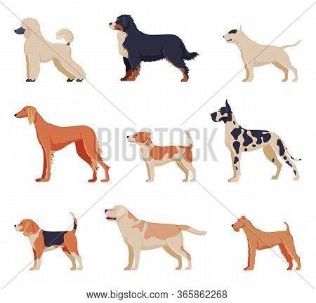 Purebred Dogs Collection, Beagle, Dalmatian, Labrador, Poodle, Greyhound Pet Animals, Labrador Retri