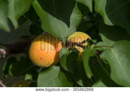 Ripe Apricot On The Tree Before The Fruit Harvest - Close-up Organic Fruit Apricot