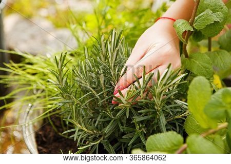 Female Hand Harvested Thyme In The Garden. Herbes De Provence. Gardening And Horticulture.