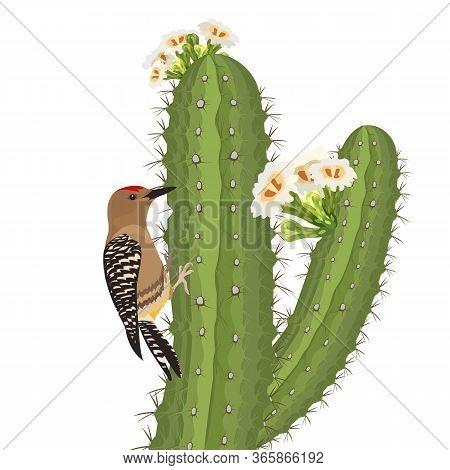 Gila Woodpecker Bird On Saguaro Cactus In Desert Wildlife. Vector