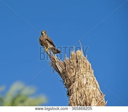 Wild Female Common Kestrel Perched On The Top Of A Straw Stack Hunting For Food