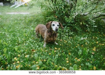 Cute Oldy Dachshund Standing In Green Meadow In Summer Looking Away