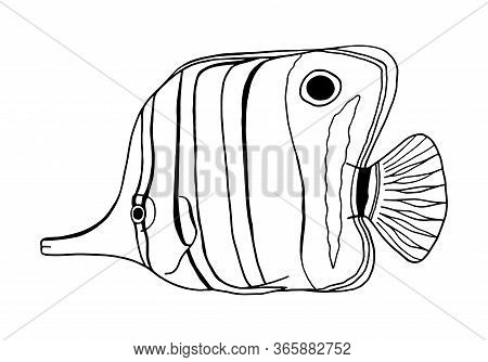 Copperband Butterflyfish. Outline Vector Chelmon Rostratus Fish. Hand Drawn Beaked Coralfish Isolate