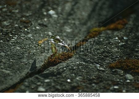 Close Up View Of A Small Wild Plant Growing On An Urban Walkway Growing Through The Cement. Mental H