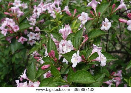 Beginning Of Florescence Of Weigela Florida In Mid May