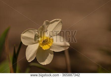 Daffodil Flowers In The Field. Daffodil Flower. Spring, Spring Flowers