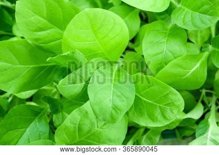 Tobacco Leaf Plant, Top View. Green Jung Tobacco Seedling, Close Up