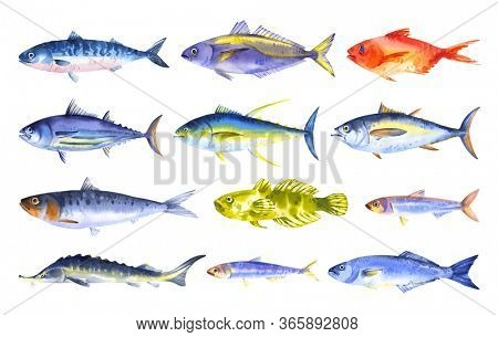 Watercolor set of sea and ocean fishes - horse mackerel; mackerel; anchovy; herring, tuna, bluefish, sturgeon, red sea bas