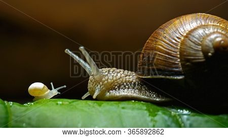 Roman Snails, Mother And Baby Snail On The Green Leaf Close Up