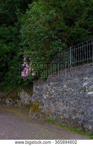 Blooming Violet, Purple Hydrangea Hydrangea Macrophylla In A Garden. Stone Fencing Wall. Hydrangea B