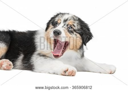 Cute Puppy Lies With Open Mouth. Background Is Isolated. Aussie Australian Shepherd.