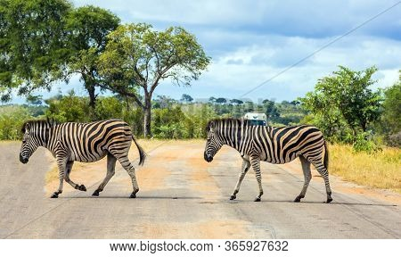 Two savannah zebra crosses a narrow road in the park. South Africa. Animals live and move freely in the  savannah. The famous Kruger Park. The concept of ecological; exotic and photo tourism