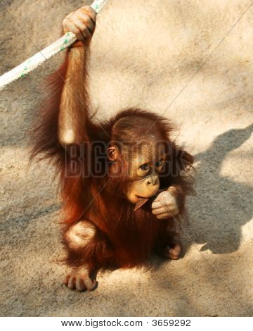 A Baby Orangutan Chews On A Stick
