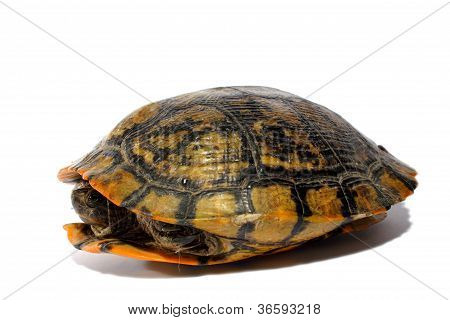 Western Chicken Turtle