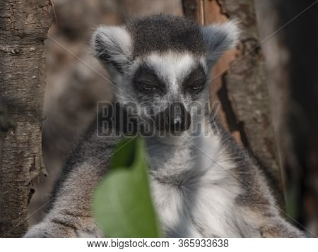 Ring-tailed Lemur Lemur Catta Sits Under A Tree And Looks Away