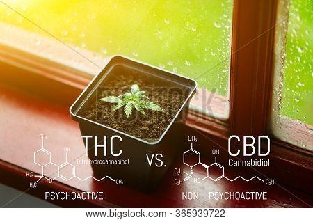 Commercial Hemp Grows In Pot, Growing Hemp From Seedlings. Cbd Cannabidiol - Thc Tetrahydrocannabino