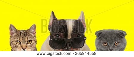 adorable domestic couple of 3 animals consisting of a metis cat, French Bulldog dog wearing sunglasses and Scottish Fold cat are standing side by side and looking ahead on yellow background