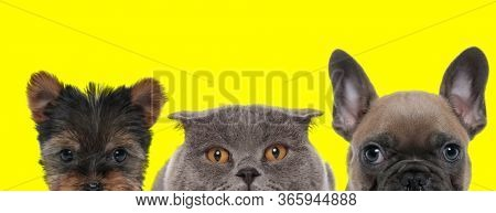 Yorkshire Terrier dog, Scottish Fold cat and French Bulldog dog are standing side by side with no occupation on yellow background