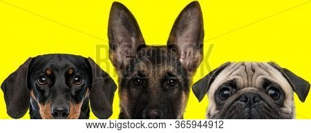 cute couple of 3 dogs consisting of a Teckel dog, German Shepherd dog and Pug dog arranged in line are looking ahead on yellow background