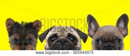adorable team of three dogs consisting of a Yorkshire Terrier dog, Mops dog and French Bulldog dog standing side by side with no occupation on yellow background