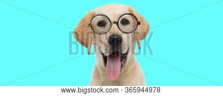 funny nerdy Labrador Retriever dog sticking out his tongue, wearing eyeglasses and sitting on blue background
