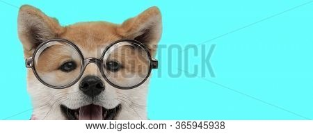 adorable Akita Inu dog hiding from camera, panting and wearing eyeglasses on blue background